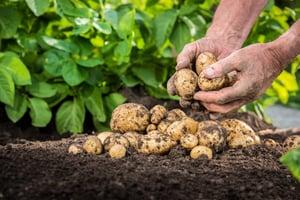 growng-potatos-crop-imagery-